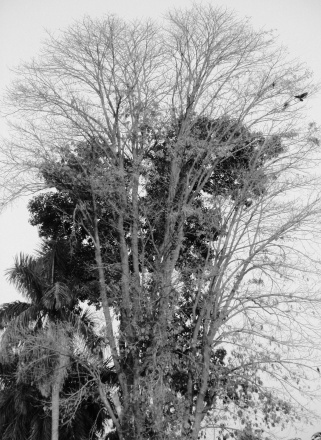 Bare branches of a Nagalingam tree in Narendrapur, West Bengal